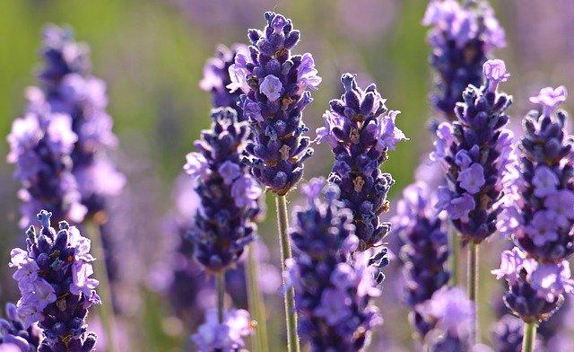 Der Echte Lavendel ist für seine beruhigende und angstlösende Wirkung bekannt. Fotocredit: © S. Hermann & F. Richter / Pixabay