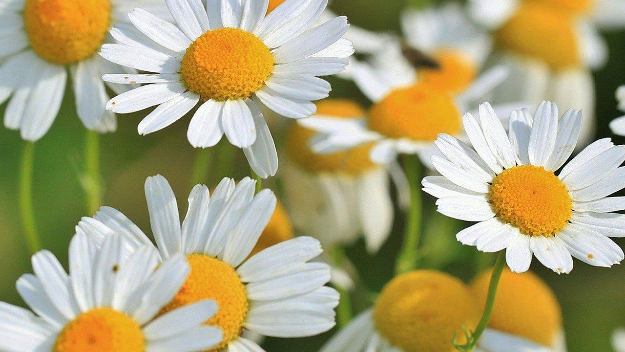 4. Kamille: Gegen Hautreizungen wirksam und verdauungsfördernd - Fotocredit: Pixabay/cocoparisienne