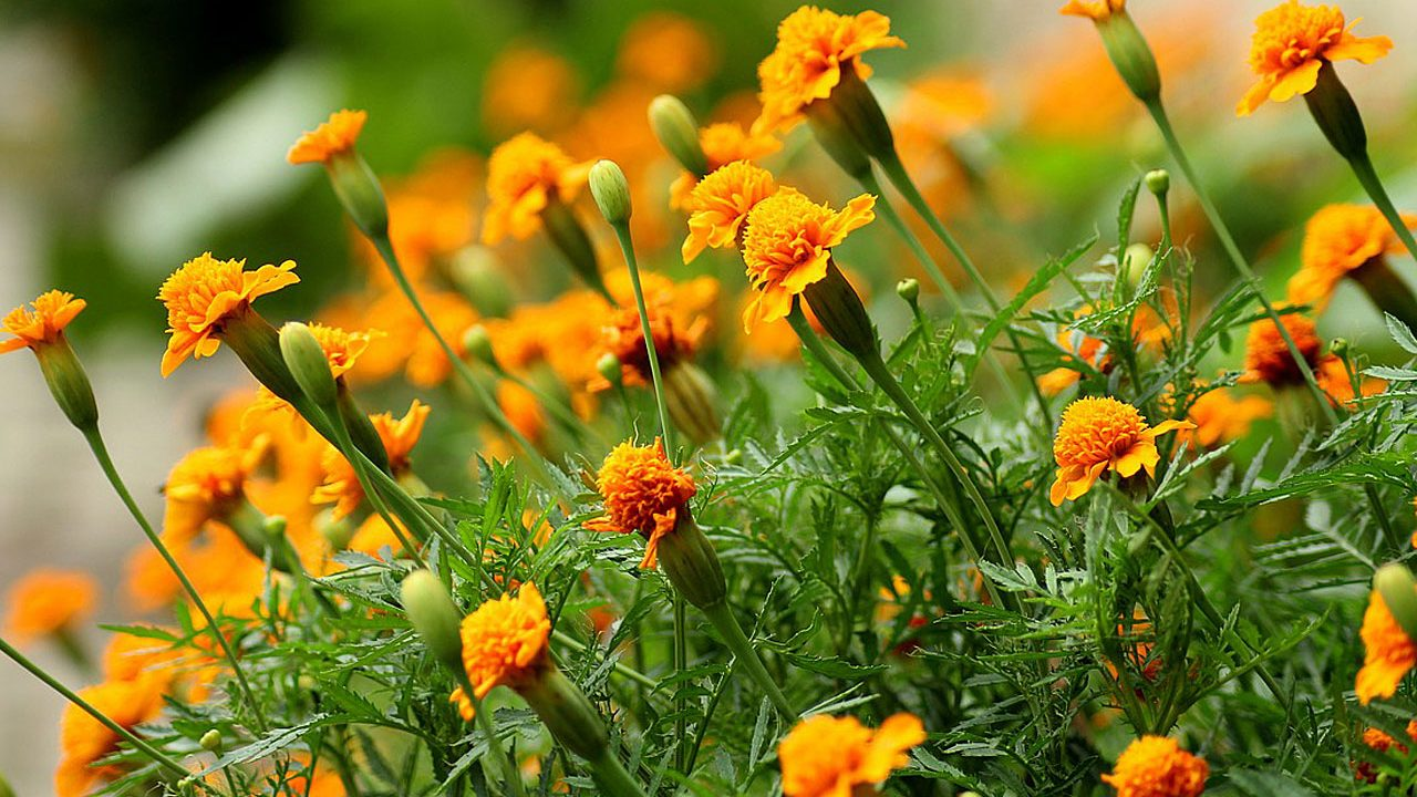 3. Tagetes - Fotocredit: Pixabay/_Alicja_