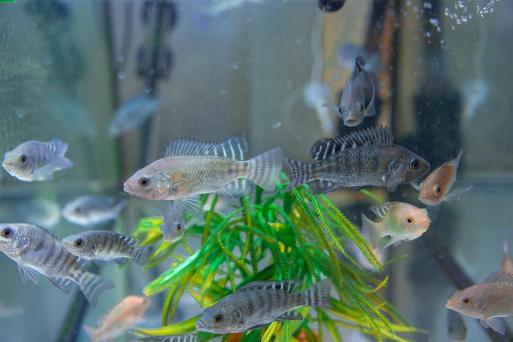 Fischzucht nachhaltig gestalten – das ist das Ziel des Unternehmens. Foto: © Blue Planet Ecosystems