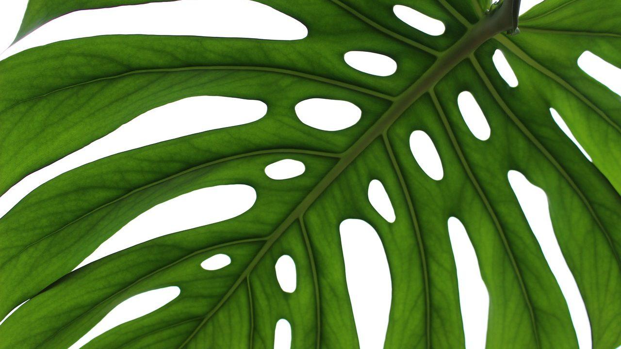 1. Fensterblatt. - Fotocredit: Pixabay/Medana
