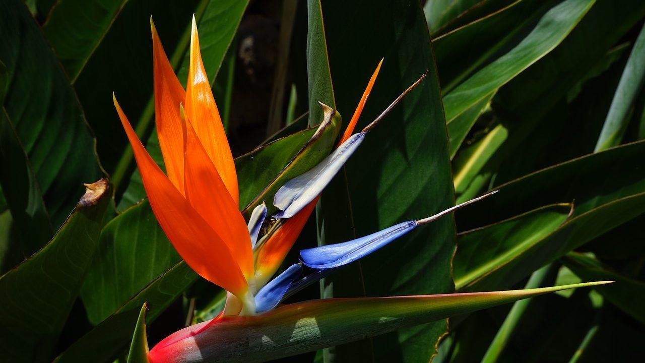 7. paradiesvogelblume - Fotocredit: Hans