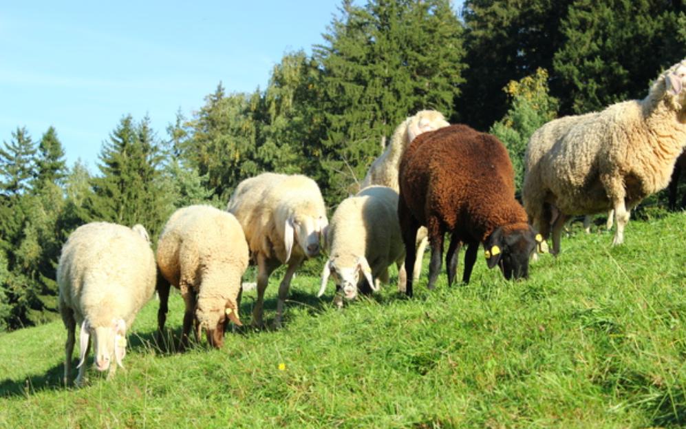 Bio-Tiere müssen ausreichend Platz und Zugang zu Freigelände haben. © BIO AUSTRIA/Edler
