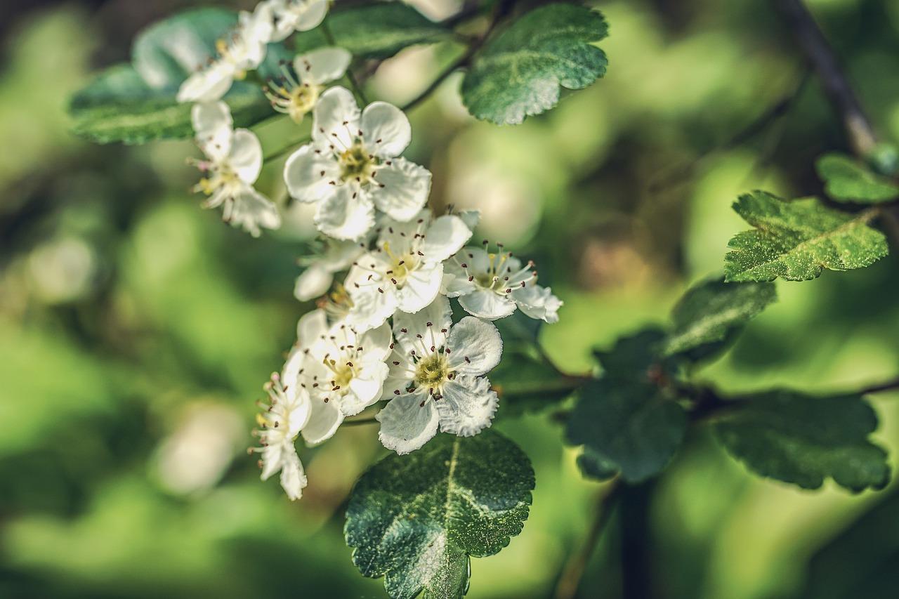Die Blüte des Weißdorns erfreut das Auge der Heckenbesitzer genauso wie die rote Farbenpracht seiner Früchte. Foto: © Susanne Jutzeler, suju-foto/Pixabay