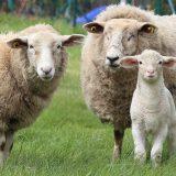 """Sie """"mähen"""" den Rasen emissionsfrei und umweltschonend. Fotocredit: © Herbert Aust/Pixabay"""