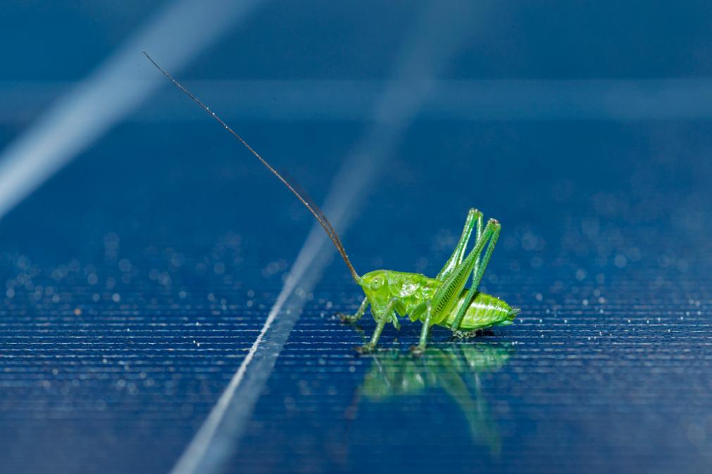 Schützenswerte Insekten wie bestimmte Heuschreckenarten fühlen sich rund um die Solarmodule ebenfalls wohl. Fotocredit: © Wien Energie/Wiener Wildnis – Popp-Hackner