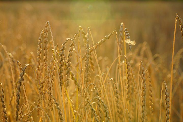 Dinkel gehört zu den mittlerweile wieder recht bekannten, alten Getreidesorten. Fotocredit: © Hans Braxmeier/Pixabay