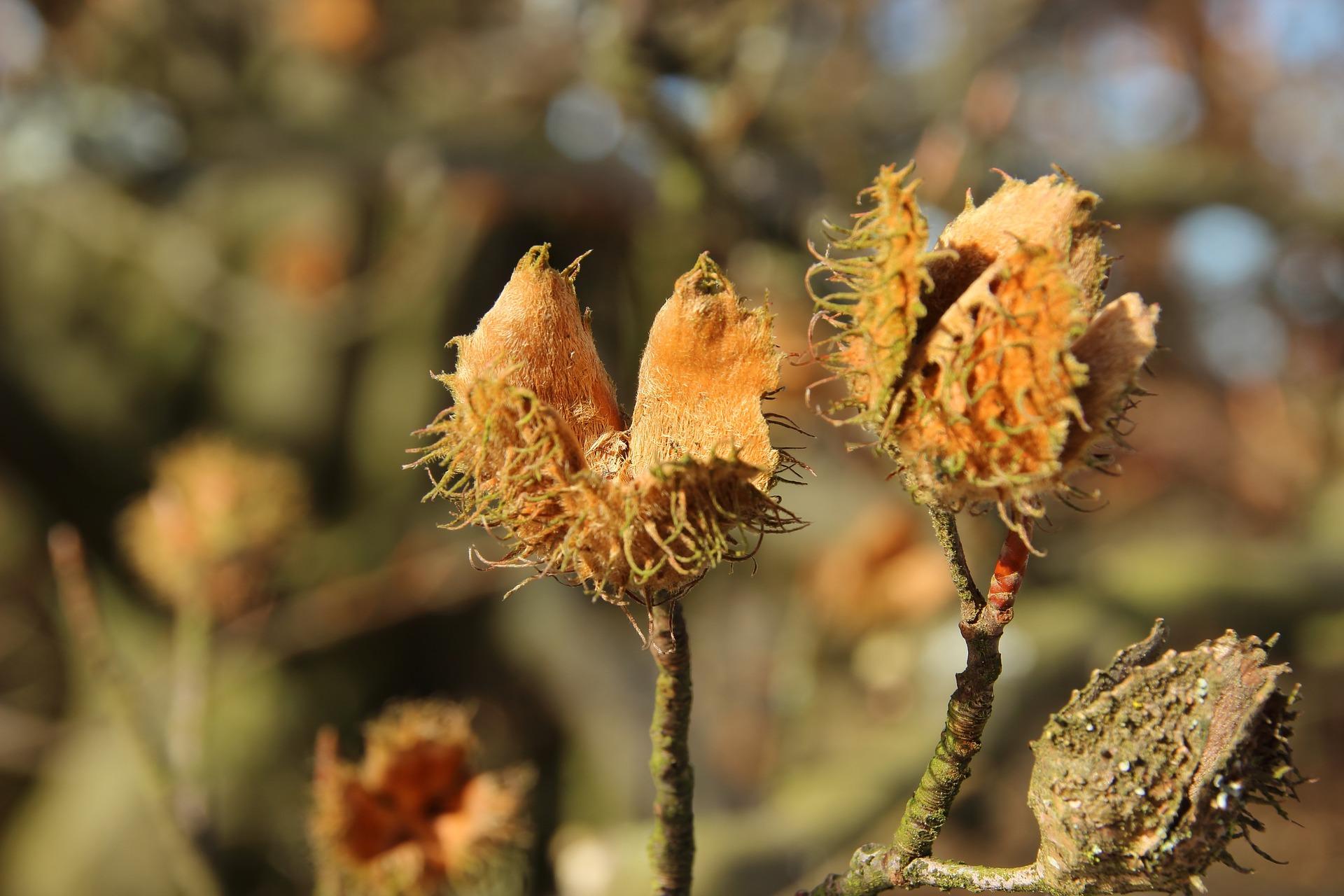 Die Fruchtkapsel – also die Hülle – öffnet sich, wenn die Bucheckerl reif sind. Fotocredit: © meineresterampe/Pixabay