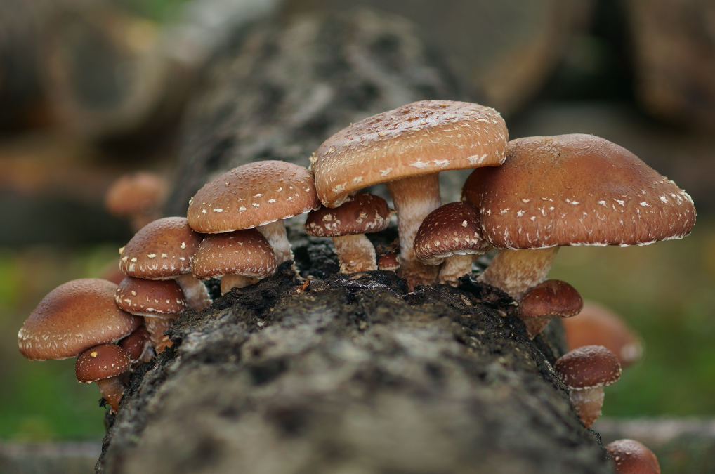 Nicht nur im Kübel in der Wohnung, auch draußen im Garten lassen sich Pilze mit den richtigen Mitteln züchten. Fotocredit: © Waldviertler Pilzgarten