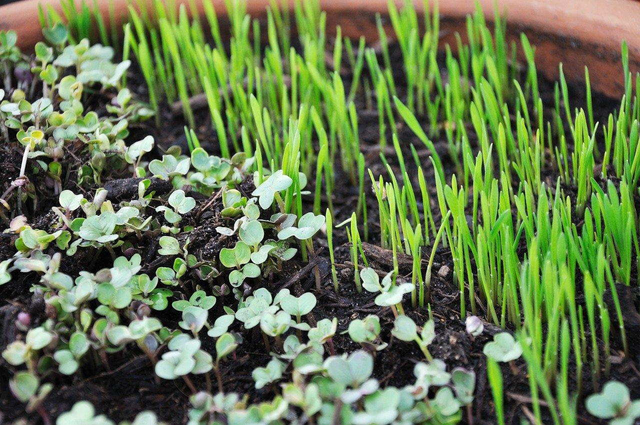Samen zum Selbstanbau von Microgreens zu Silvester als Glücksbringer schenken? Finden wir eine schöne, lebendige Idee, die wir gerne ab jetzt umsetzen werden. Fotocredit: © coloboque/Pixabay