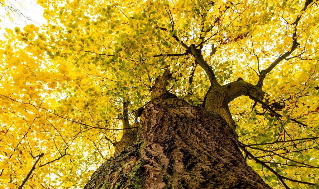 Die Linde ist definitiv auch einer unserer Lieblingsbäume. Sie ist in Österreich dieses Jahr zum Baum des Jahres gewählt worden. Fotocredit: © Myri Roet/Pixabay