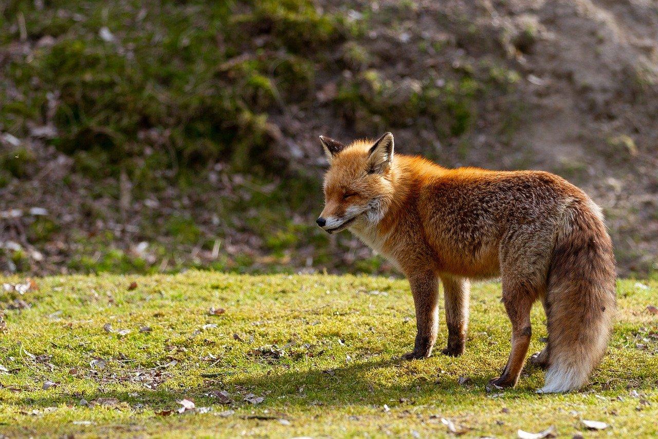 Auch Füchse kann man in der Wiener Hautstadt entdecken. Fotocredit: © Nico Wall/Pixabay