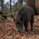 Ein Wildschwein in der Stadt? Das kann unter Umständen durchaus vorkommen, denn Wien beheimatet mehr Wildtiere, als du vielleicht vermutest. Fotocredit: © milesz/Pixabay