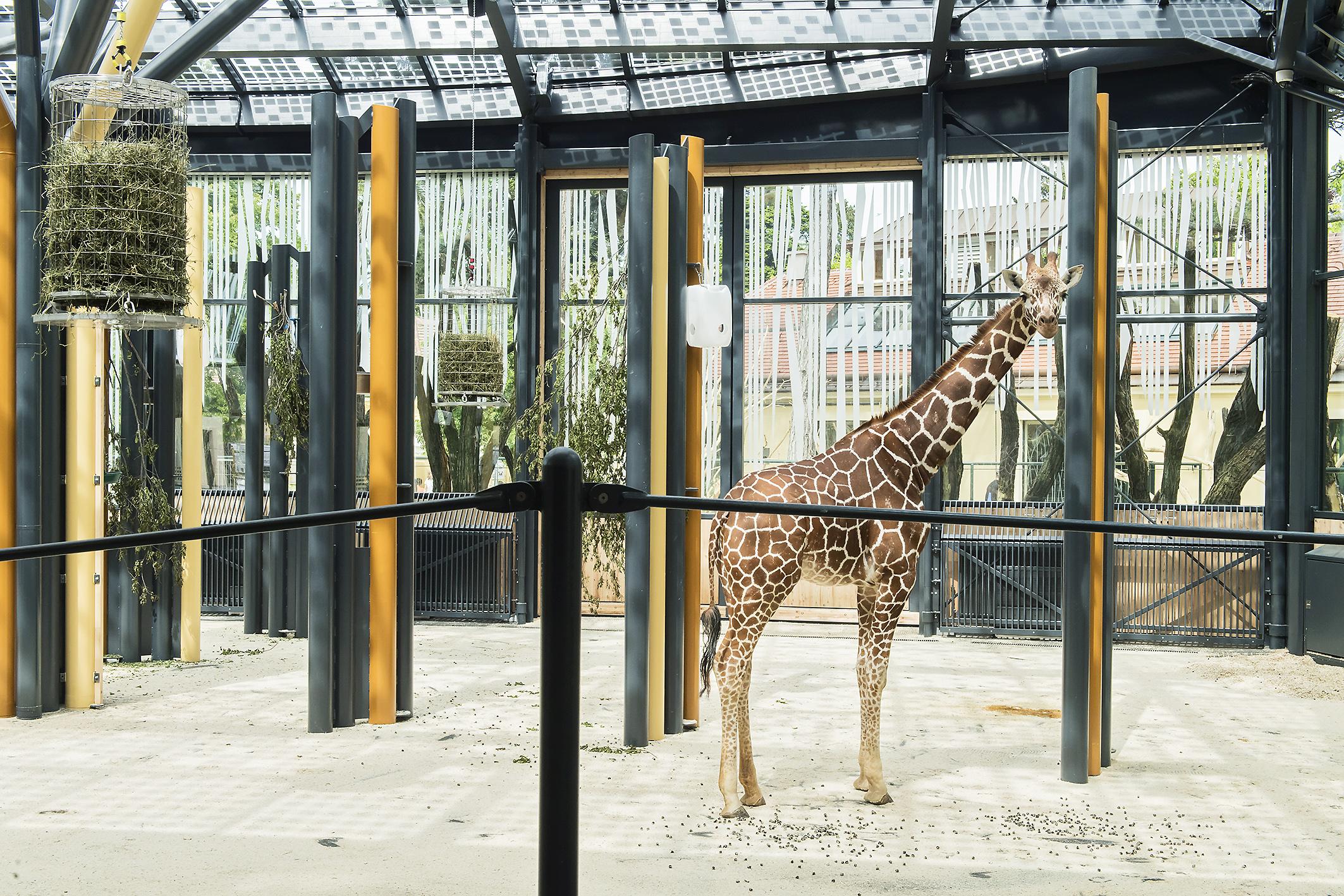 Wenn es um die ansprechende Integration von Solaranlagen in das Gesamtbild des Tiergartens geht, dann könnten wir die Giraffen in Schönbrunn nach ihrer Meinung befragen. © Daniel Zupanc