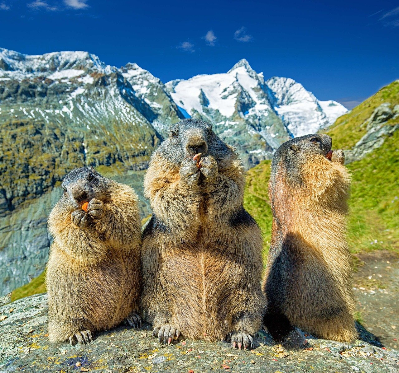 Mampf, mampf, mampf – wer sein Gewicht so wie diese Murmeltiere bis zum Herbst verdoppeln muss, der hat natürlich ordentlich Hunger. Fotocredit: © Julius Silver/Pixabay