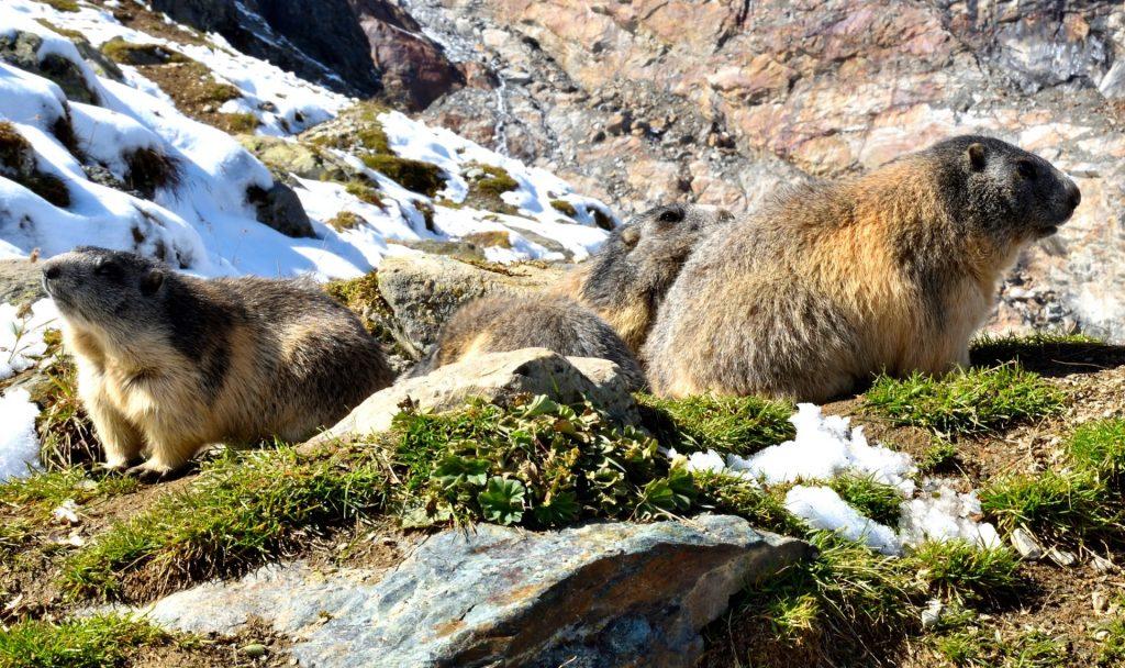 Guten Morgen! Woher weiß das Murmeltier eigentlich, dass das tierische Energiewunder Winterschlaf vorbei ist? Fotocredit: © Martin Bächer/Pixabay
