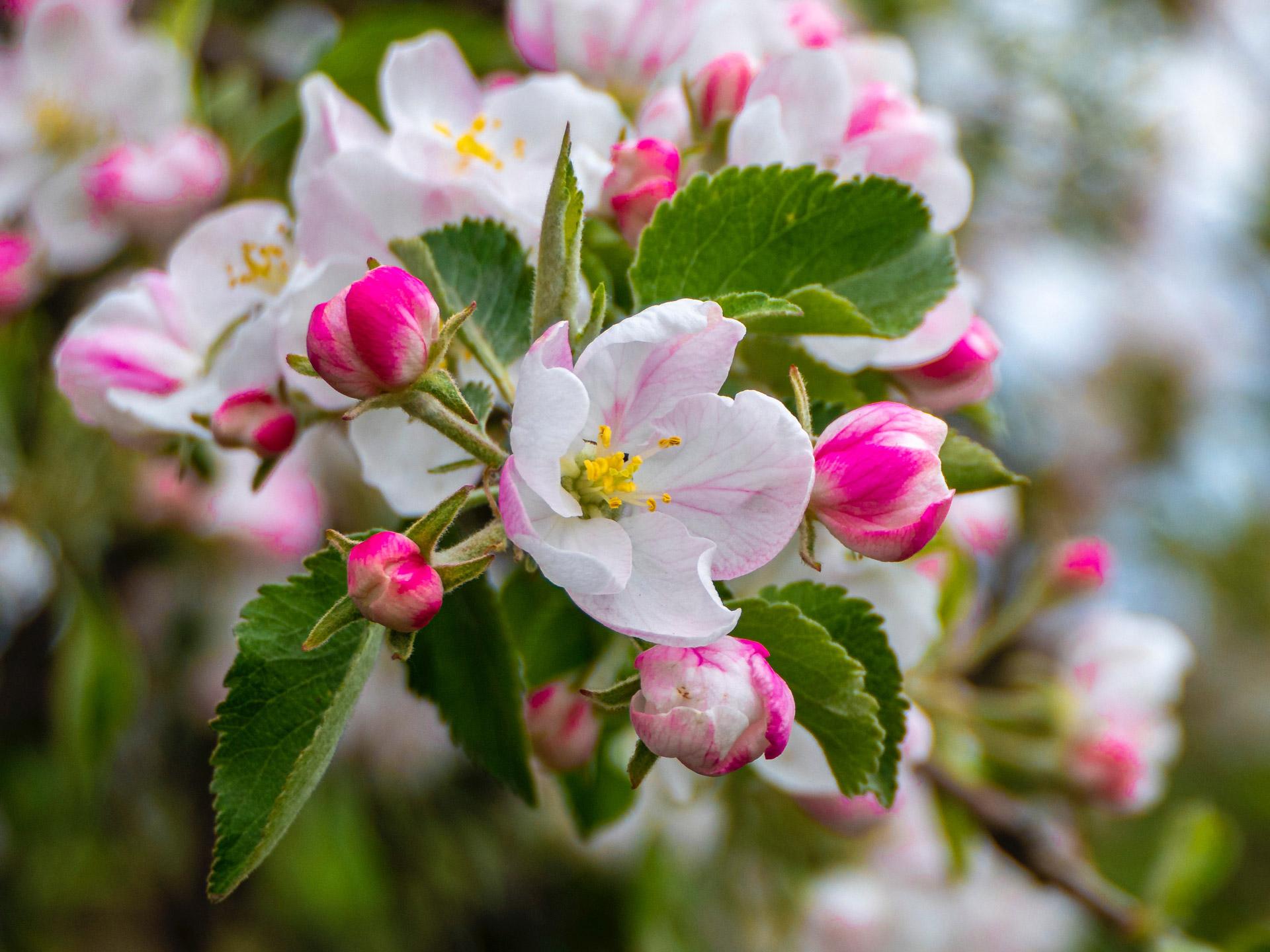 Saisonkalender Frühling Apfelblüte