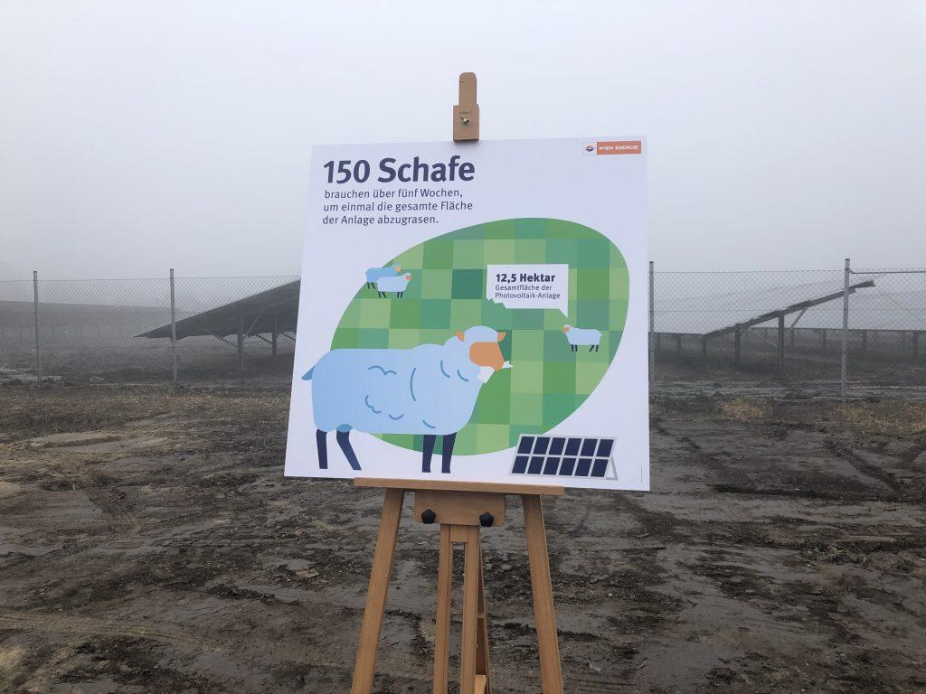 Bald werden sich auf der Anlage 150 Schafe tummeln, die sich um das Gras um die Module kümmern werden. Fotocredit: Energieleben Redaktion