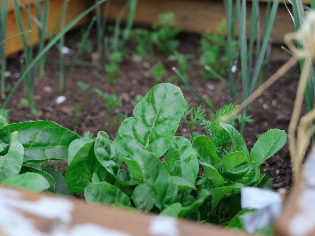 Saisonkalender Frühling Spinat