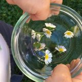 Gänseblümchen sammeln