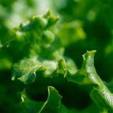 Salat - kleine Salatkunde