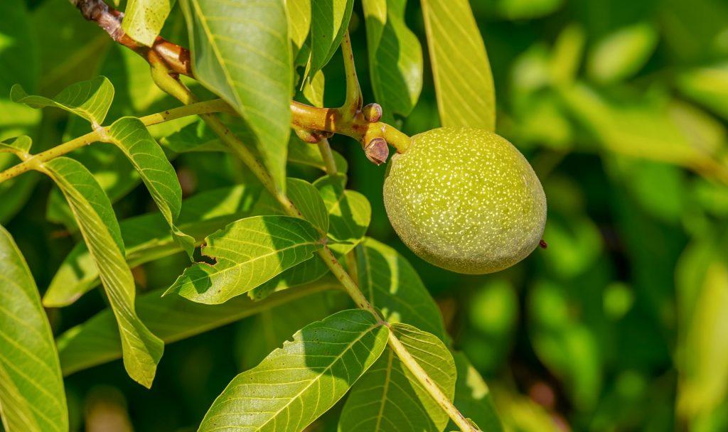 Viele Nussbäume liefern uns wertvolle, essbare Nüsse. So lange sie sich in der grünen Schale befinden, sind sie aber unreif. Fotocredit: © Couleur/Pixabay