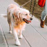 Haustier in Zeiten der Pandemie: Wer einen Hund hat und in Quarantäne muss, muss sich Lösungen fürs Gassi überlegen. Fotocredit: © Andriyko Podilnyk/Unsplash